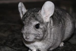 Chinchilla in Freiheit