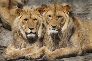 Zwei Löwen im Cyberzoo